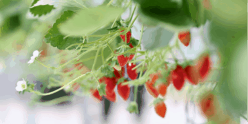 Close-up shot of strawberries grown in automated greenhouses at the Smart Agriculture Competition.